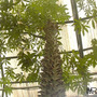Ceiba Pentandra Semillas Exoticas