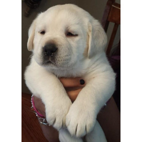 Cachorros Labrador Los Mejores