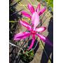 Magnolia Stellata Rosada Unicas! Z/ Mataderos