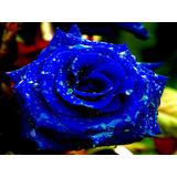200 Sementes De Rosas Azul Flor Exóticas Pra Fazer Mudas