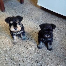 Vendo Cachorros Schnauzer Mini Sal Y Pimienta