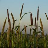 Semente De Milheto Para Plantio 5 Kg