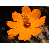 Sementes Flor Cosmo Amarelo Laranja Cosmos Sulphurea P Mudas