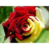 Rosa Importada Doble (rojo Sangre / Vainilla) 10 Semillas
