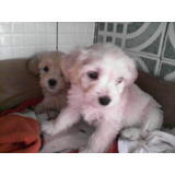 Cachorros Poodle Con Mini Toy, De 2 Mesesitos De Nacidos.