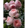 Rosal Inglés (david Austin)plantas De Rosas Inglesas