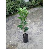 Laranja Kinkan - Prestes A Produzir / Verde Vida