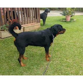 Filhote De Rottweiler Com Pedigree Cbkc - Padrão Alemão