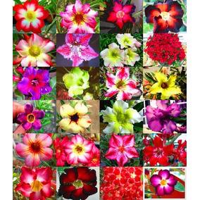 Rosa Do Deserto Mix Adenium Obesum Sementes Flor Para Mudas