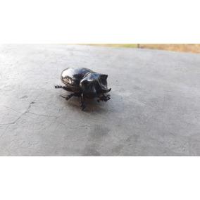 Besouro Da Sorte Egípcio. Escaravelho