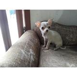Chihuahua Micro Fêmea