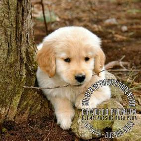 Golden Retriever Cachorros Machitos Raza Pura Entrega Ya!
