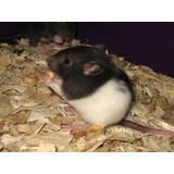 Rata Capuchina Mascota Jerbo Hamster