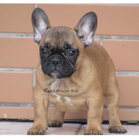 Bulldog Frances Femea Blue Gen Filhote Otima Linhagem!!! Top