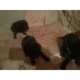 Doação De Filhotes Labrador Mestiço