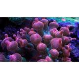 Anemona Burbuja Rosa Corales