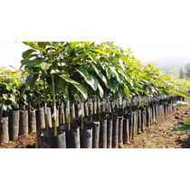 Planta De Aguacate Hass Y Mendez