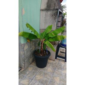 Bananeira No Vaso Banana