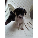 Hermosos Cachorros Jack Russell Terrier