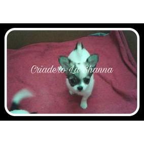 Chihuahuas De Pelo Largo Pedigree F.c.a. Criadero La Shanna