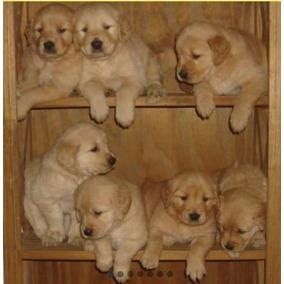 Cachorros Golden Listos Para Entregar