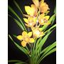 3 Mudas De Orquídea Cymbidium C/ Flor P/ Presente Sortidas