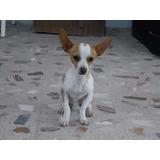 Machito Chihuahua Cabeza De Venado, 6 Meses, Nacio En Dic