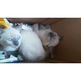 Felinos Siames Hermosos Ojos Azules