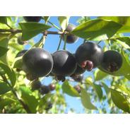 Guabijú Roxo Muda, A Fruta Mais Deliciosa Do Momento