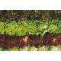 Super Kit 2.000 Sementes De Alface Crespo Verde E Roxo