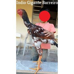 Índio Gigante /ovos Galados /ovos Férteis /ovos Incubação