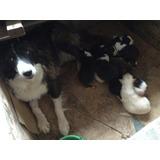 Cachorro Border Collie Desparasitado Y Certificado De Salud