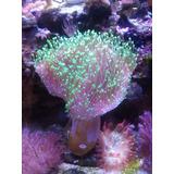 Coral Sarcophyton Australiano 9cm Dia 12cm Alto Precioso