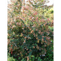 Arbusto Cotoneaster Crataegus Olea Vivero Greenarea Cañuelas