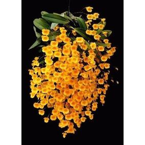 Belíssima Orquídea Dendrobium Agregatum, Adulta Frete Gratis