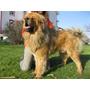 Tibetan Mastiff Puppy... Los Mejores Mastin Tibetano