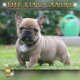 Bull Dog Frances The King Canine Colombia