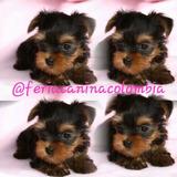 Lindos Cachorros Yorkshire Miniatura .venta De Mascotas