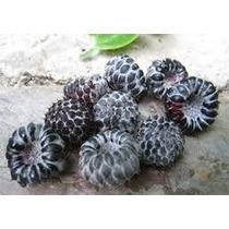 Estaca Framboesa Negra Silvestre ( Amora De Misoury )