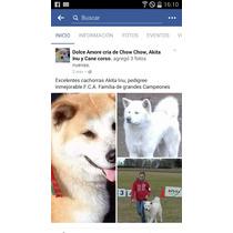 Excelente Cachorra Akita Inu, Pedigree F.c.a