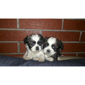 Hermosas Cachorritos De Mini Shitzu Tricolores