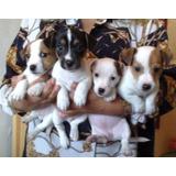 Preciosos Cachorros Jack Russell - Piura