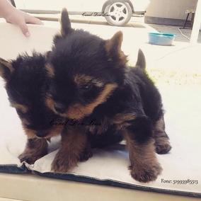 Fêmea De Yorkshire Terrier Micro, Linda, Pedigree