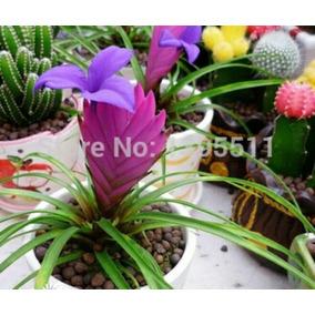 Sementes De Bromélia Tailandesa - 10 Sementes P/ Mudas