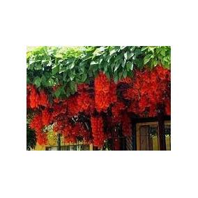 10 Sementes De Trepadeira Jade Vermelha