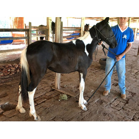Potra Mangalarga X Paint Horse
