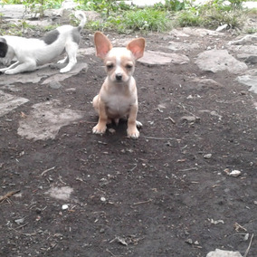 Chihuahueño Hermoso Recién Nacido Beige