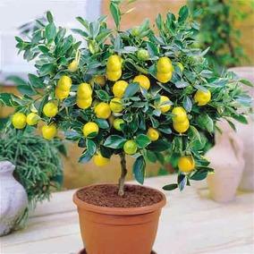 Limão Bonsai 10 Sementes Fruta Deliciosa