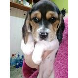 Cachorra Beagle Ultima