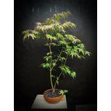 Bonsai Acer Palmatum Matsumurae - 100% Japanese